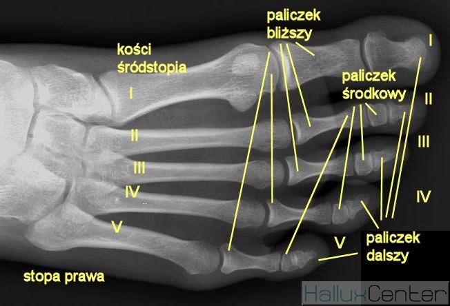 anatomia stopy